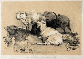 """""""Two sheep and two goats resting together in a field."""" Lithograph with gouache by A. Ducote."""
