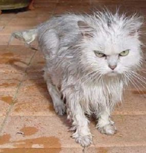 Wet fluffy cat