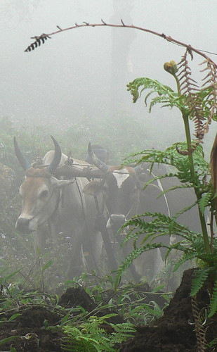 """Oxen in the Mist"" by Roshnii is licensed under CC BY-NC-SA 2.0"