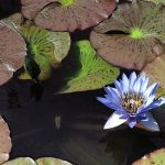 "Blue Water Lily"" by Mike Shell (8/3/2018)"