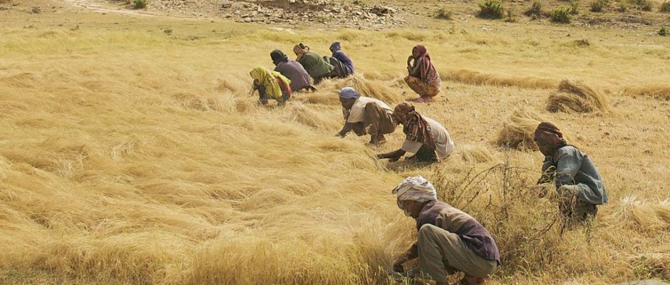 """""""The Teff Harvest, Northern Ethiopia,"""" by A. Davey from Where I Live Now: Pacific Northwest [Attribution 2.0 Generic (CC BY 2.0), via Wikimedia Commons]"""