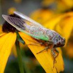 """""""Noisy Cicada, Male,"""" by LadyDragonflyCC - >;< on flicker (8/30/2011) [Attribution 2.0 Generic (CC BY 2.0)]"""